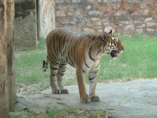 Tiger at Jaipur zoo