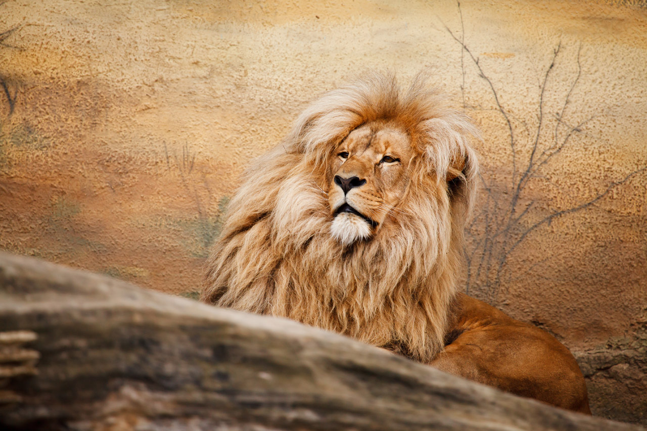 Jaipur to Soon Experience Lion and Bull Safari