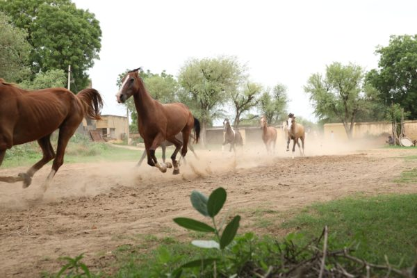 A splendid sight of horses running to their feeding areas each evening at Roop Niwas Kothi